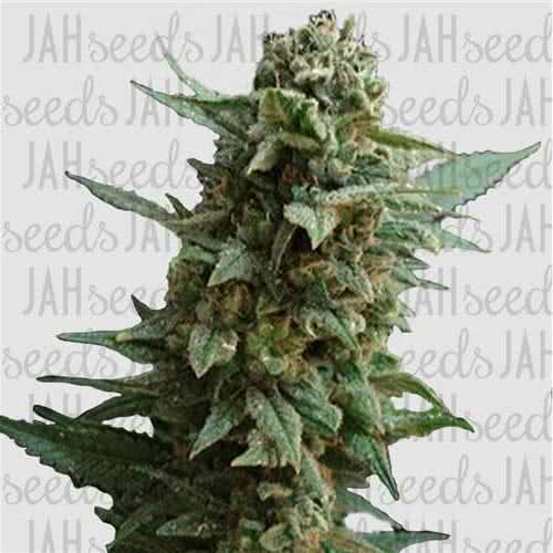 Northern Lights Feminised (поштучно)