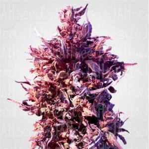 Auto Red Poison Feminised (поштучно)