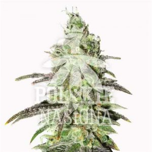 AUTO SOUR CANDY FEMINISED